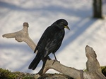 blackbird (Turdus merula)